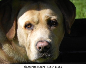 Photogenic labrador retriever. My golden labrador is posing to the camera for photography. Cute dog with beautiful brown eyes. Liepaja, Latvia.