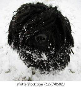 A photogenic Puli (hungarian shepherd dog) in the snow.