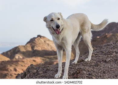 photogenic white dog smiling and looking at camera in dry desert mountain natural environment and empty sky background