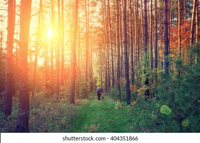 Photografer walking in the pine forest at sunset