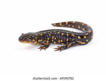 Photograph of an adult Tiger Salamander, Ambystoma tigrinum, isolated against a white background.