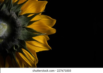 A photograph of the backside of a Sunflower against a solid black background.