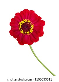 Photograph of a beautifully detailed bright red zinnia isolated against a white background.