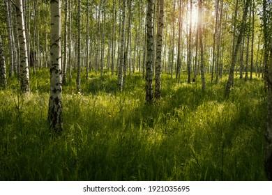 Fotografía del bosque de abedules justo después del amanecer