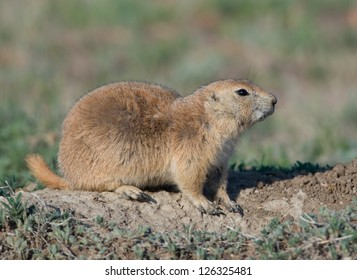 Photograph of a Black-tailed Prairie Dog keeping a careful watch of his surroundings as he strives to stay alive in a South Dakota prairie dog town.
