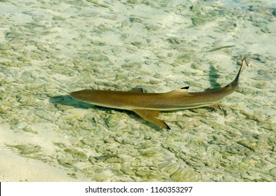 Photograph of blacktip reef sharks in French Polynesia
