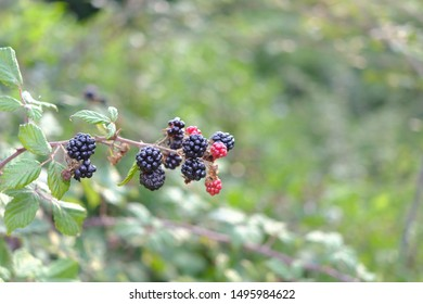 Photograph of a bramble with blackberries focused in the foreground