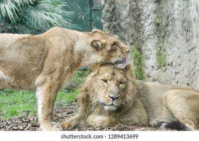 Lion Attitude Images, Stock Photos & Vectors   Shutterstock