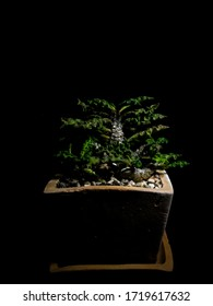 Photograph from Euphorbia decaryi Guillaumin var. Spirosticha in a clay pot with a black background.