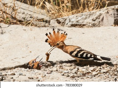 a photograph of a Eurasian hoopoe,  photographed in the Danube Delta