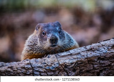 A photograph of a Groundhog peering overtop of a log.