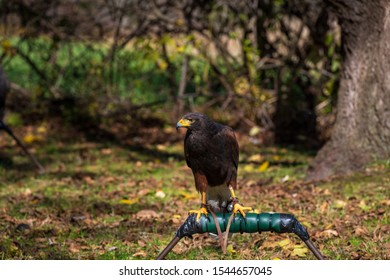 A photograph of a Harris Hawk tethered to its perch