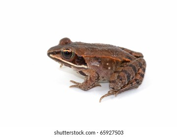 Photograph of a juvenile and very beautifully marked, Wood Frog, Rana sylvatica, isolated against a white background.