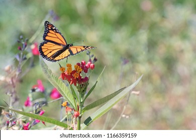 Photograph of a Monarch Butterfly in flight over Milkweed in the garden