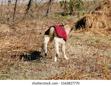 Photograph of a newborn baby alpaca running in a field and kicking his heels up in the air.  Selective focus on the baby alpaca.