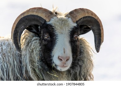 A photograph of Old Norwegian sheep. Black and white face, and big brown and grey horns.