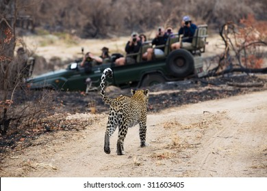 A photograph of a safari vehicle full of tourists watching a leopard, Panthera  pardus, walking on a dirt road at Elephant Plains, Sabi Sands Game Reserve, Mpumalanga province, South Africa.