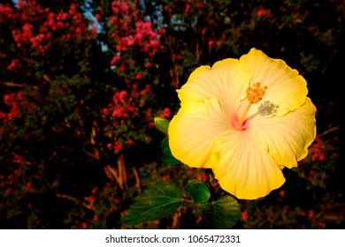 hawaii s state flower images stock photos vectors shutterstock