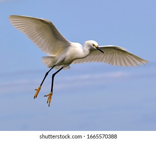 A photograph of a Snowy egret in flight coming in for a landing with it's yellow feet dangling against a soft blue background.