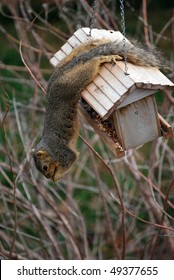 A photograph of a squirrel eating seed while hanging from a bird feeder.
