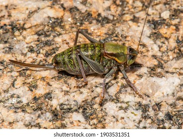 Photograph of a stange looking insect called a Mormon Cricket found at high elevation in the Rocky Mountains of Colorado.