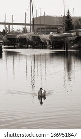 The photograph of a swimming swan in the harbor of Stralsund/Swan in the harbor of Stralsund