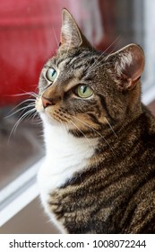 A photograph of a tabby cat gazing upwards