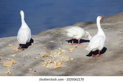 photograph of three geese eating bread crumbs to the banks of the Tagus River as it passes through Toledo, Spain,