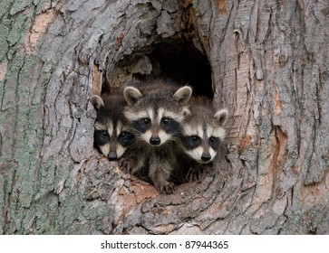 Photograph of three young raccoons scrambling over each other to peer out a hole in a large tree in the midwest.