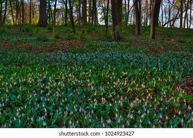 Photograph of Trout Lilies on a midwestern forest floor.