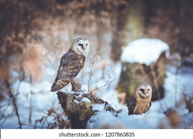 Photograph of two smaller barn owls next to each other in a snowy forest