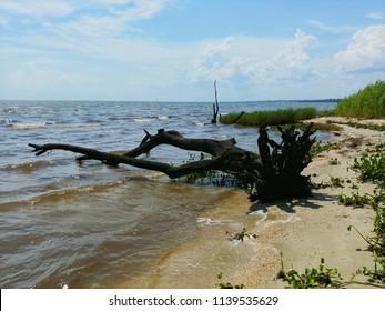 Photograph of a Waterlogged Cypress Tree in Lake Pontchatrain, Mandeville Louisiana