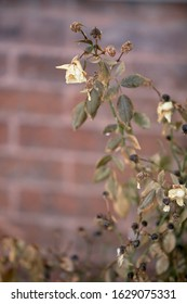 Photograph of a white rosebush offseason. Blooms wilted and covered in a thick glaze of near freezing water. Background is a brick wall foundation of a home. Selective focus is used for separation.