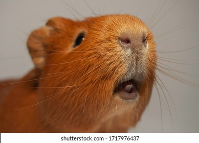 in the photograph you can see a beautiful guinea pig