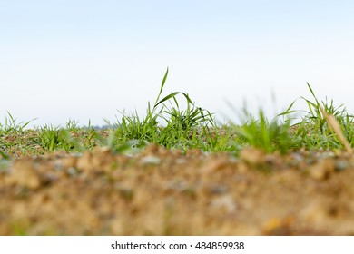 photographed close up young grass plants green wheat growing on agricultural field,   against the blue sky