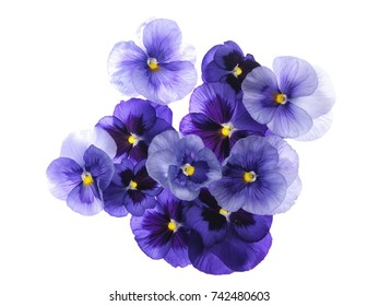 Photographed close-up of 11 Viola flowers on white background. Different shades of purple/violet with yellow heart. Backlit, very delicate, almost translucent.