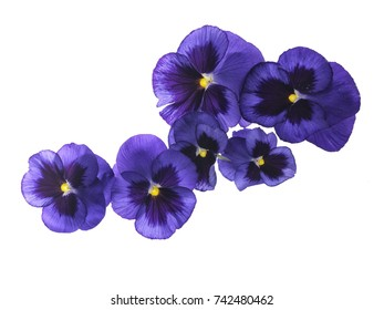 Photographed close-up of 6 Viola flowers on white background. Different shades of purple/violet with yellow heart. Backlit, very delicate, almost translucent.