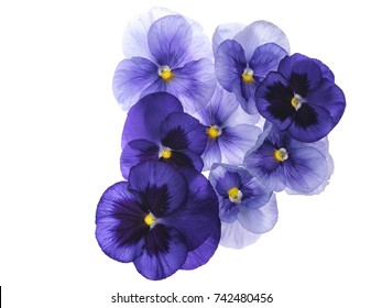 Photographed close-up of 8 Viola flowers on white background. Different shades of purple/violet with yellow heart. Backlit, very delicate, almost translucent.