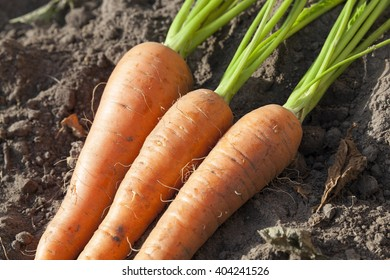 photographed close-up of a mature root carrots, small depth of field