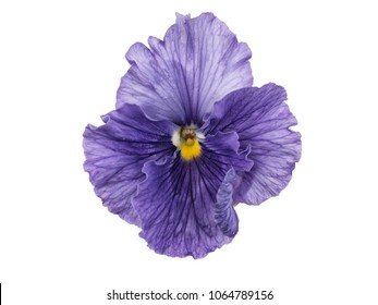 Photographed close-up of a Viola flower on white background. Different shades of purple/violet with yellow heart. Backlit, very delicate, almost translucent.