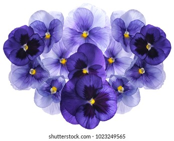 Photographed close-up of Viola flowers isolated on white backlit background. Different shades of purple/violet with yellow heart. Backlit, very delicate, almost translucent.