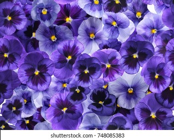 Photographed fresh purple viola flowers, covering complete background. Seamless image to be repeated endlessly.