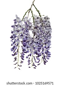Photographed wisteria flowers in early spring, isolated on white background.
