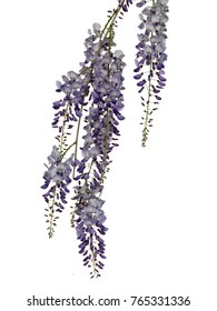Photographed wisteria flowers in early spring on white background.