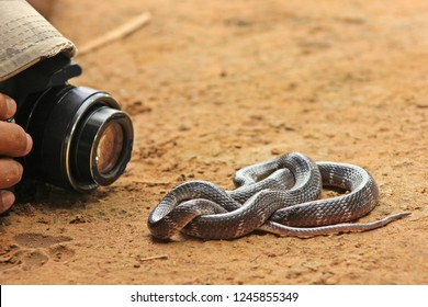 """Photographer capturing Common Krait or Indian Krait one of the most venomous snake and member of """"Big 4"""" Species from Indian Subcontinent"""