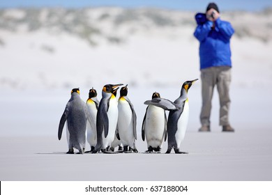 Photographer with Group of penguins. King penguins, Aptenodytes patagonicus, going from white sand in to the sea on Falkland Islands.