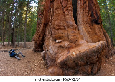 A photographer near a tree. Giant Sequoia trees in Sequoia National Park.