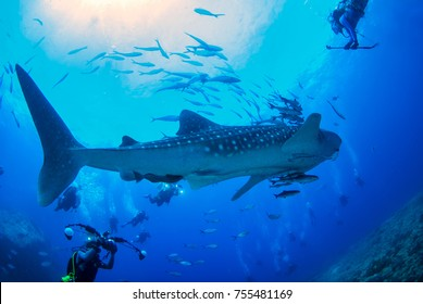 Photographer Scuba diving and camera in hand with whale shark  at Losin sea ,Thailand