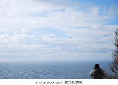 Photographer shooting migrating Eider ducks