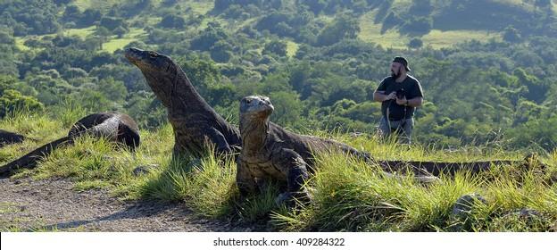 The photographers and Komodo Dragons (Varanus komodoensis) on island Rinca. It is the biggest living lizard in the world, Indonesia